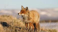 """""""La Regione dovrebbe sospendere i Piani di controllo della volpe, approvati dalle Province, e far realizzare un serio studio scientifico sulla consistenza della popolazione di questo animale. I risultati sarebbero […]"""