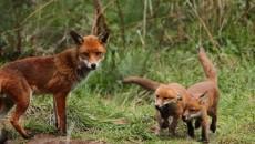"""""""Dopo l'annullamento da parte del TAR del piano di controllo della volpe della Provincia di Reggio Emilia,la Regionedovrebbe sospendere tutti gli abbattimenti delle volpi in Emilia-Romagna perché gli stessi motivi […]"""