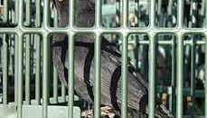 """""""La Regionedeve immediatamente abrogare le norme che consentono l'uccellagione in Emilia-Romagna se vogliamo evitare di pagare le sanzioni che ci imporrà l'Unione europea, sanzioni che saranno pagate non soltanto dai […]"""